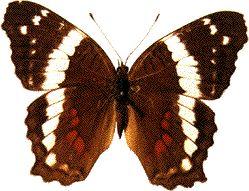 Anartia fatima Evolution Image Gallery Anartia fatima butterfly